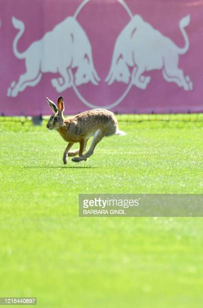 A rabbit runs over the pitch as training sessions resumed at Austrian football club FC Red Bull Salzburg on May 27 2020 in Salzburg Austria / Austria...
