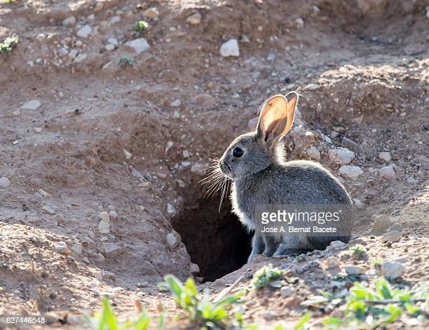 Rabbit sat in the field illuminated by the light of the Sun. ( Species Oryctolagus cuniculus.)