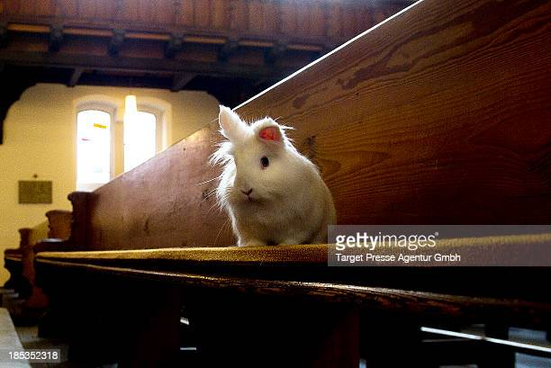 A rabbit sits on a church bench during a mass for house pets and cuddly toys at catholic church 'Herz Jesu' on October 19 2013 in Berlin Germany This...