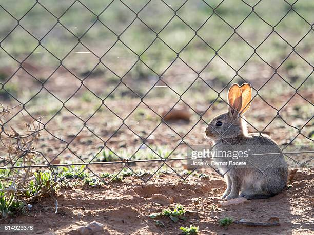 Rabbit sitting next to a fence in the field. ( Species Oryctolagus cuniculus.)