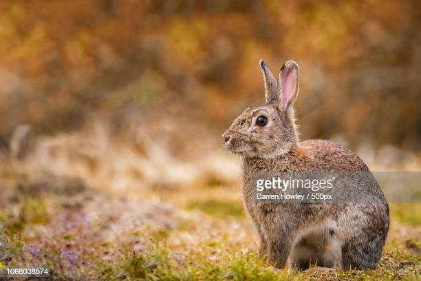 rabbit sitting on grass looking left - rabbit stock pictures, royalty-free photos & images