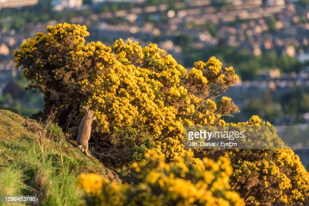 a rabbit standing on back legs eating yellow flowers from the bush - sunset stock pictures, royalty-free photos & images