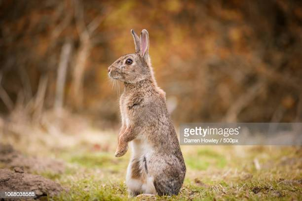 rabbit standing on grass looking left - lagomorphs stock pictures, royalty-free photos & images