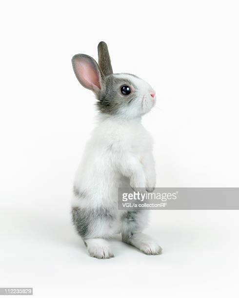 a rabbit standing - white rabbit stock pictures, royalty-free photos & images