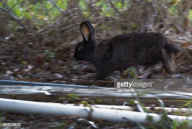 A rabbit that is part of a large gang that numbers over one hundred is seen near Pioneer Canal Park as volunteers with East Coast Rabbit Rescue try...