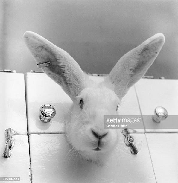 A rabbit used in research testing is held in a restraint container at the Bristol Labs in Syracuse New York January 1959