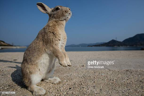 A rabbit waits for food at the beach on Okunoshima Island on February 24 2014 in Takehara Japan Okunoshima is a small island located in the Inland...