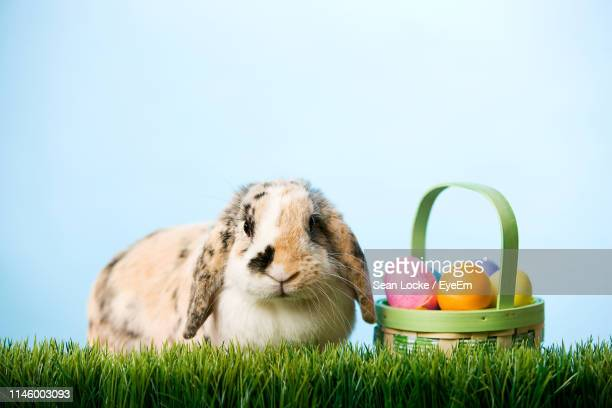 rabbit with easter eggs on grass against blue background - osterhase stock-fotos und bilder