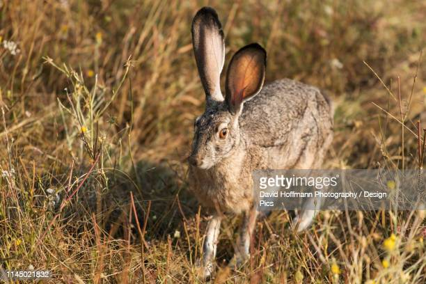 rabbit with large ears, cascade siskiyou national monument - siskiyou stock pictures, royalty-free photos & images