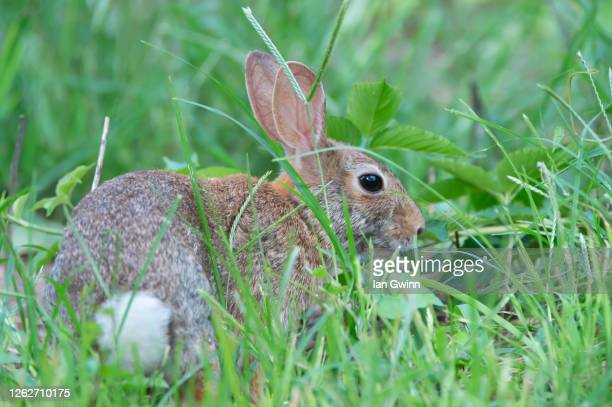 rabbit_1 - ian gwinn stock pictures, royalty-free photos & images