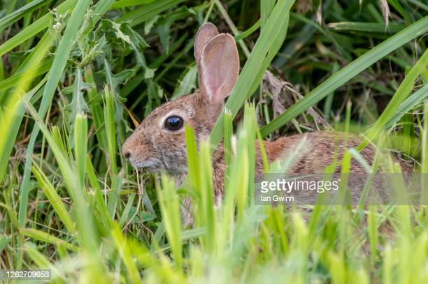 rabbit_2 - ian gwinn stock pictures, royalty-free photos & images