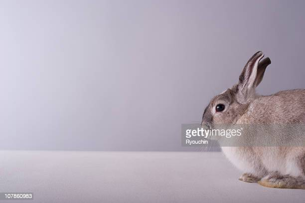 rabbit,animal,it is pretty