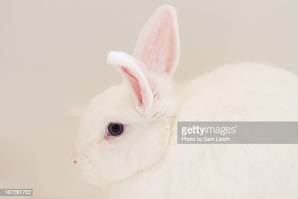 World S Best New Zealand White Rabbit Stock Pictures Photos
