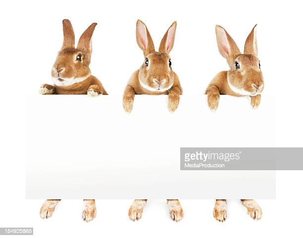 rabbits holding a banner - easter stock pictures, royalty-free photos & images