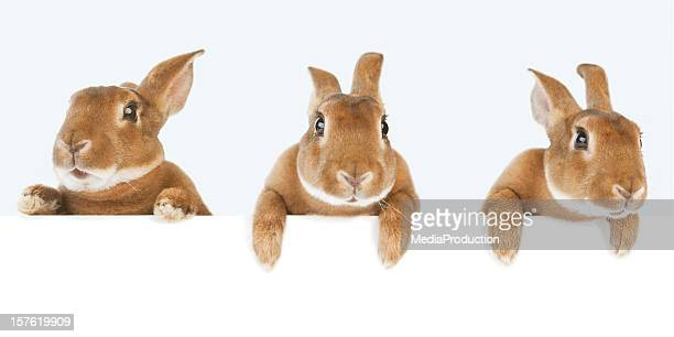 rabbits holding a banner - easter photos stock pictures, royalty-free photos & images