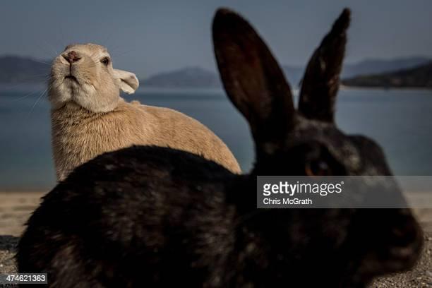 Rabbits look for food at the beach on Okunoshima Island on February 24 2014 in Takehara Japan Okunoshima is a small island located in the Inland Sea...