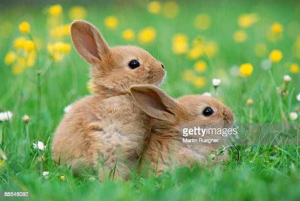 Rabbits mating in meadow