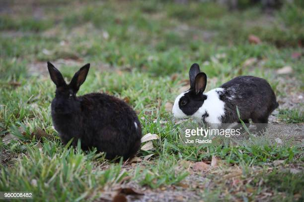 Rabbits part of a large gang that numbers over one hundred are seen near Pioneer Canal Park on April 22 2018 in Boynton Beach Florida The bunnies are...