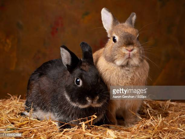 rabbits - black dwarf stock pictures, royalty-free photos & images