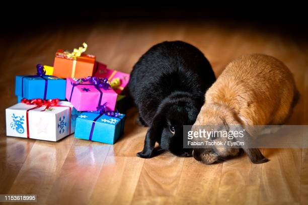 rabbits with colorful gift boxes on hardwood floor at home - two animals stock pictures, royalty-free photos & images
