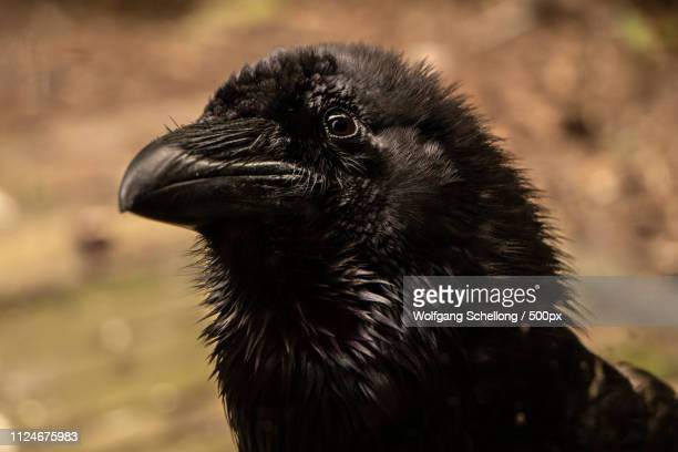 rabe raven - rookery stock pictures, royalty-free photos & images