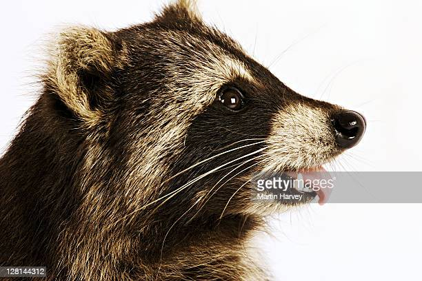 Raccoon (Procyon lotor) A widespread omnivorous mammal with 'banditsís' masked face. Dist. North America. Studio shot against a white background.