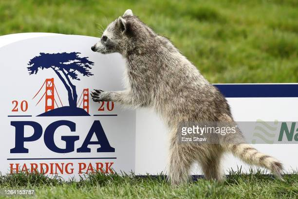 Raccoon as seen on the course during a practice round prior to the 2020 PGA Championship at TPC Harding Park on August 05, 2020 in San Francisco,...