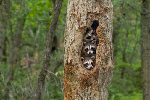 Raccoon babies huddled together in their tree home 182838137