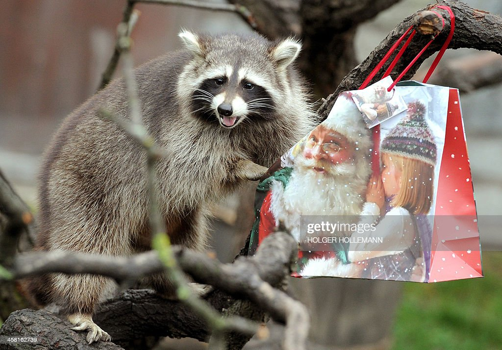 Image result for christmas raccoon