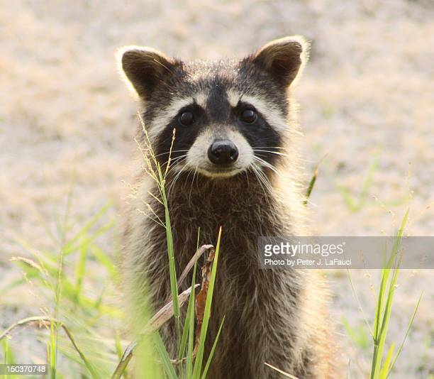 raccoon closeup - fauci stock pictures, royalty-free photos & images