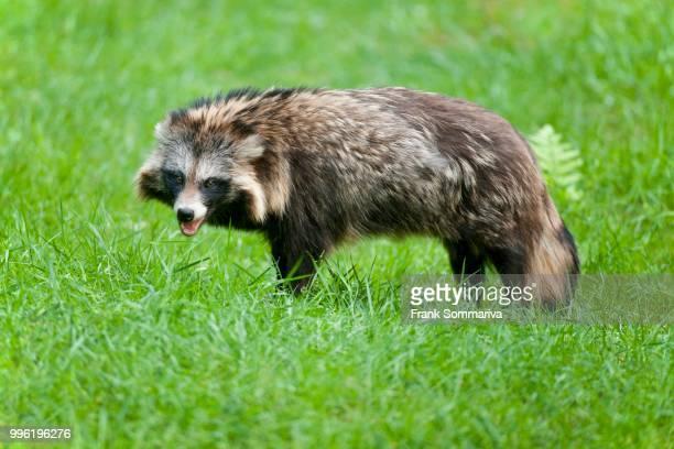 raccoon dog (nyctereutes procyonoides), captive, hesse, germany - marderhund stock-fotos und bilder