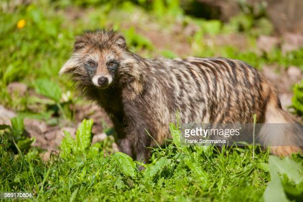 raccoon dog (nyctereutes procyonoides), captive, lower saxony, germany - marderhund stock-fotos und bilder
