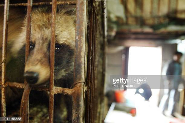 Raccoon dog destined for the dinner table looks out of its cage in Xin Yuan wild animal market in the southern Chinese city of Guangzhou, 06 January...