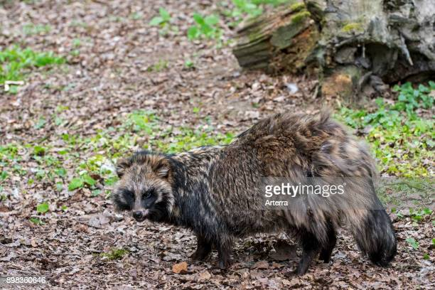 Raccoon dog foraging in forest and showing camouflage colours