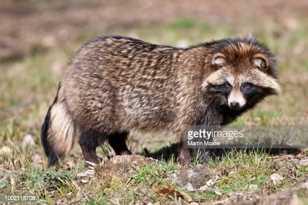 raccoon dog (nyctereutes procyonoides), hesse, germany - marderhund stock-fotos und bilder