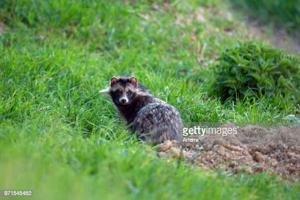 Raccoon dog invasive species in Germany emerging from its den