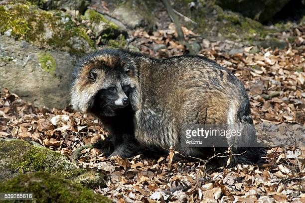 Raccoon dog invasive species in Germany indigenous to East Asia