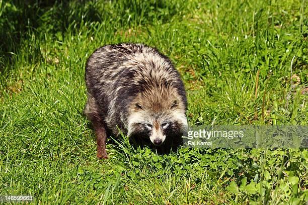 Raccoon dog looking for prey