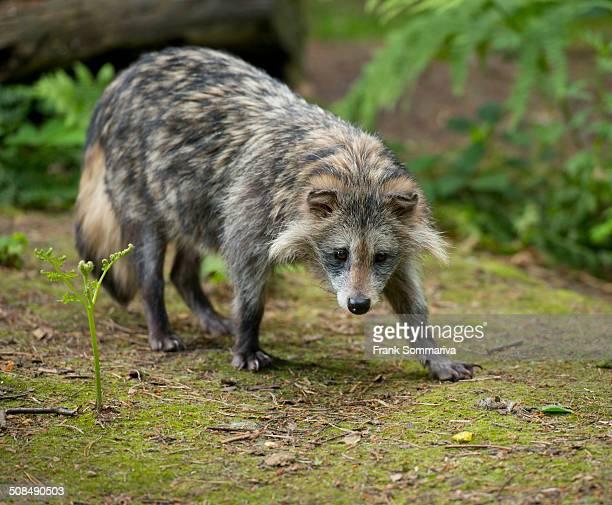 Raccoon Dog -Nyctereutes procyonoides-, captive, Lower Saxony, Germany