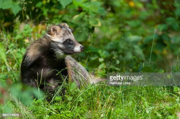raccoon dog, nyctereutes procyonoides, germany - marderhund stock-fotos und bilder
