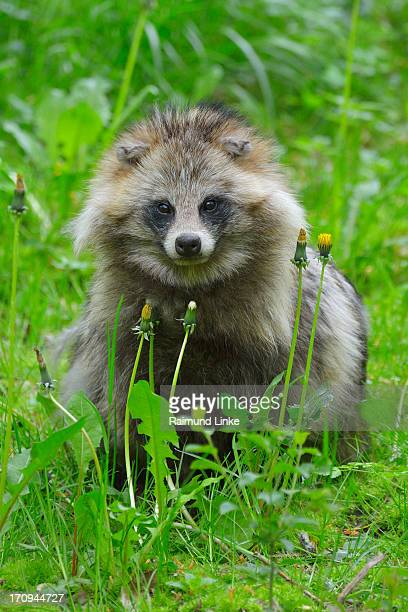 Raccoon Dog, Nyctereutes procyonoides