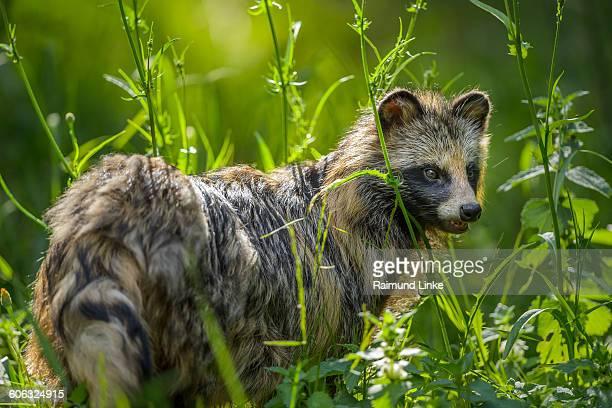 raccoon dog, nyctereutes procyonoides - marderhund stock-fotos und bilder