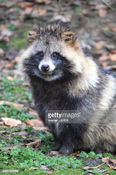 Raccoon Dog Nyctereutes procyonoides