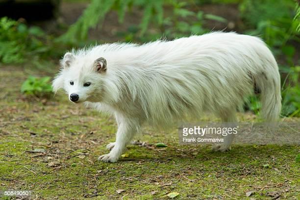 Raccoon dog -Nyctereutes procyonoides-, white morph, captive, Lower Saxony, Germany
