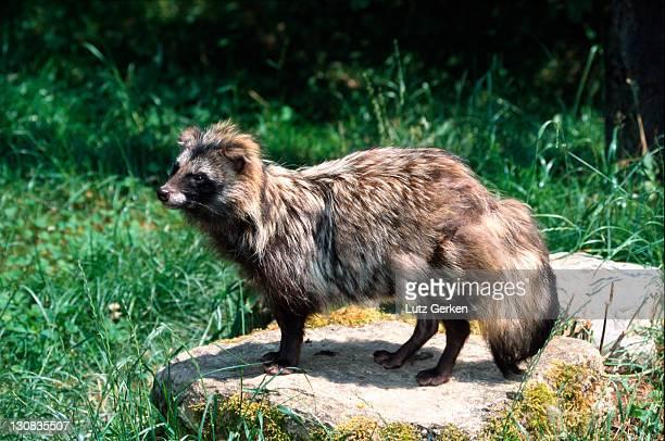 raccoon dog - marderhund stock-fotos und bilder