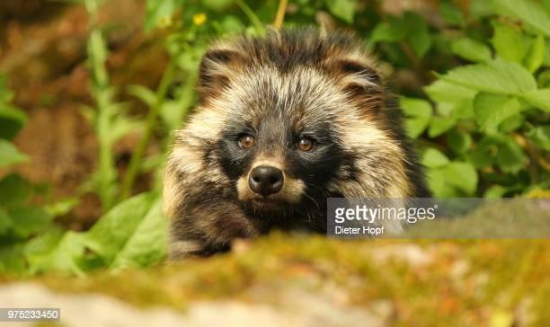 raccoon dog (nyctereutes procyonoides) portrait, mecklenburg, germany - marderhund stock-fotos und bilder