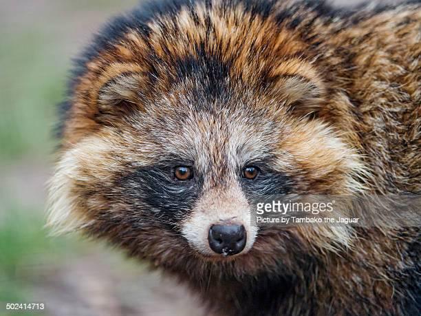 raccoon dog portrait - marderhund stock-fotos und bilder