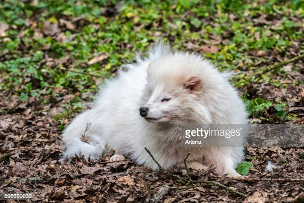 Raccoon dog white color phase in forest