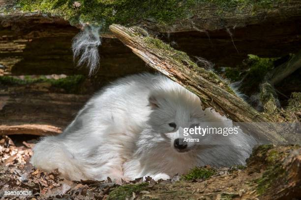 Raccoon dog white color phase resting under tree trunk in forest