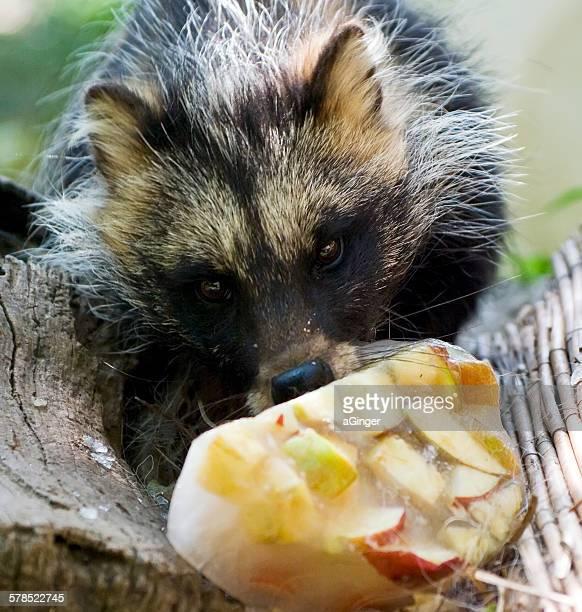 Raccoon dog with its iced food